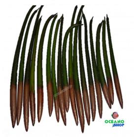 semilla mangle manglar rojo mangrove seed rhizophora