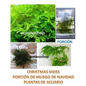 Musgo Vesicularia montagnei Christmas moss 5x5cm