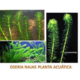 egeria najas acuario planta acuatica
