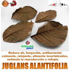 juglans alantifolia terminalia cattapa hojas almendro indio gambas acuario gambario