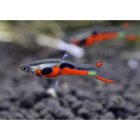 guppy macho endler
