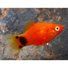 Platy mickey mouse 2.5-3.5cm