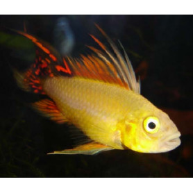 Apistogramma Cacatuoides Gold Red