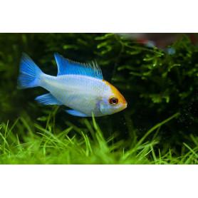 Papiliochromis Ramirezi Electric Blue