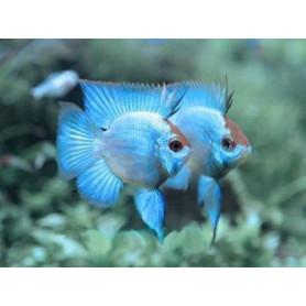 Papiliochromis Ramirezi Electric Blue Baloon