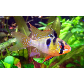 Papiliochromis Ramirezi Original