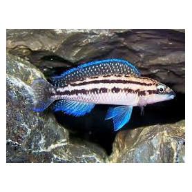 Julidochromis dickfeldi