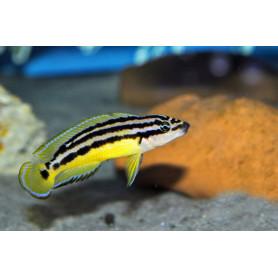 Julidochromis ornatus kapampa