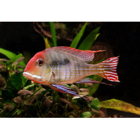 Geophagus Sp Red Head Tapajos