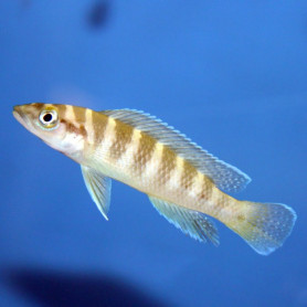 Lamprologus cylindricus yellowh.
