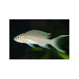 Lamprologus gracilis