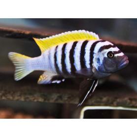 Cynotilapia Afra Jalo Reef