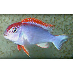 Cynotilapia Fletti Red Top