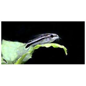 Corydora Pigmea
