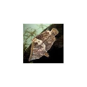 Monocirrhuspolyacantus -  pez hoja americano