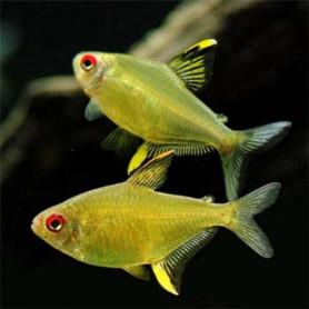 Hyphessobrycon pulchripinnis - Tetra limon