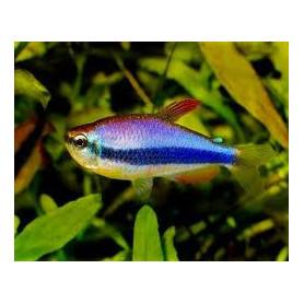 Inpaichthys kerri - Tetra blue emperor
