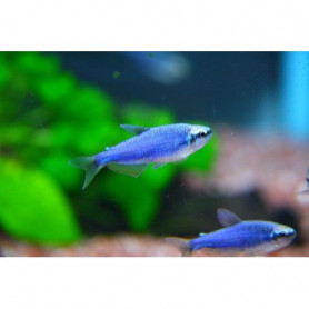 Inpaichthys kerri superblue