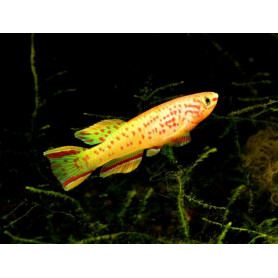 Aphyosemion gardneri gold