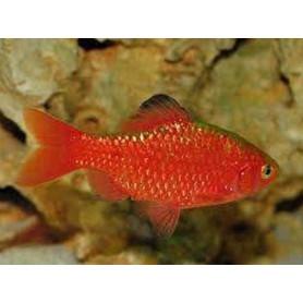 Barbus conchonius neon orange supercolor