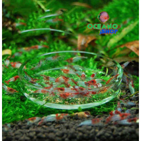Plato alimentador de gambas de acuario cristal gambario