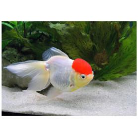 Carassius auratus red cap