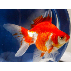 Carassius auratus red white