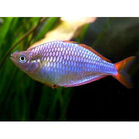 Melanotaenia praecox - Pez arcoiris enano azul