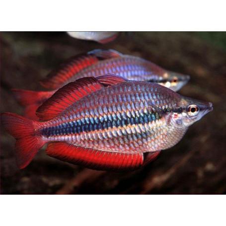 Melanotenia trifasciata Goyer river red