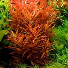 Ammania senegalensis
