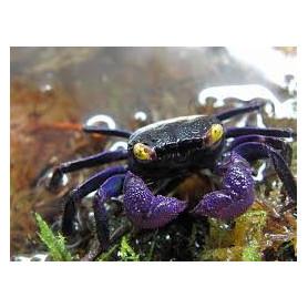 GeosesarmaDennerle - Geosesarma Vampire Purple
