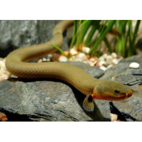 Erpetoichthys calabaricus - Pez serpiente calamita