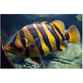 Datnioides microlepis - Pez tigre siames