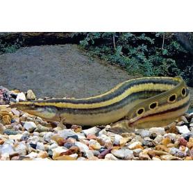 Mastacembelus siamensis - Anguila lisa