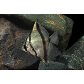 Monodactylus sebae - Pez angel africano