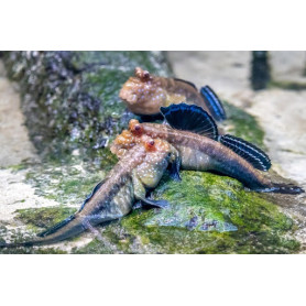 Periopthalmus papilio - Saltarin del fango