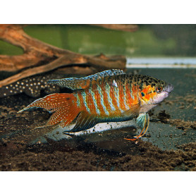 Macropodus opercularis - pez paraiso