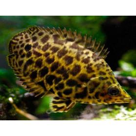 Ctenopoma acutirostre - Gourami leopard