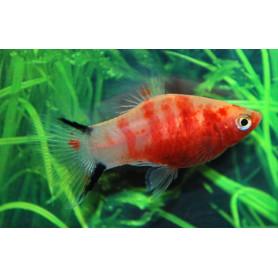 Platy red tiger