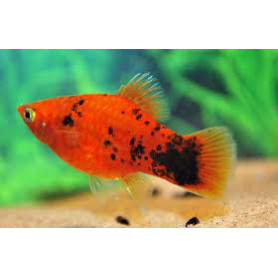 Platy red flame spotted