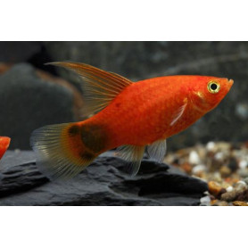 platy golden mickey mouse HF