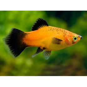 Platy apple tricolor