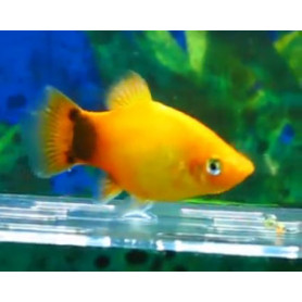 Platy Emerald Mickey Mouse (Gold)