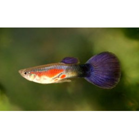 Guppy Hembra purple queen