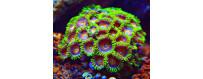 Corales marinos